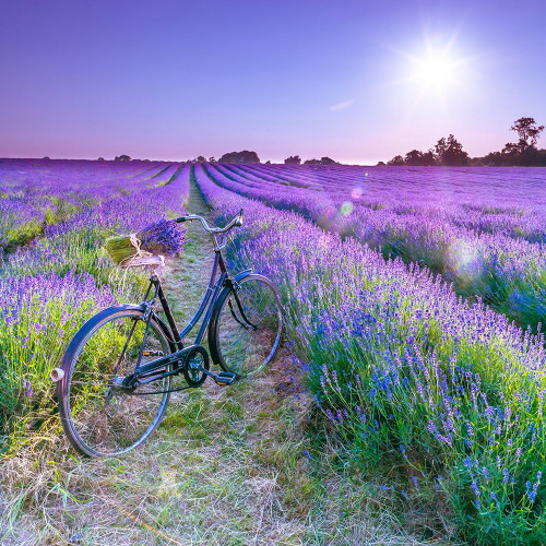 Bicycle with flowers in a Lavender field Poster Print by Assaf Frank # AF20130708200C01