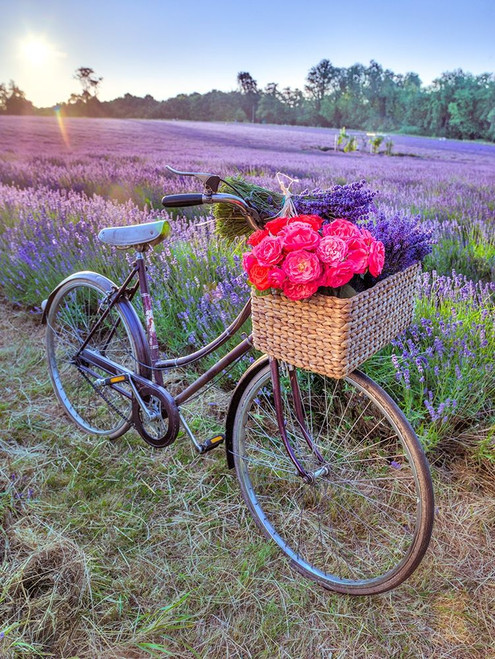 Bicycle with flowers in a Lavender field Poster Print by Assaf Frank # AF20130708232X