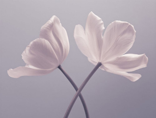 Two Tulip flowers Poster Print by Assaf Frank # AF20120427620C01