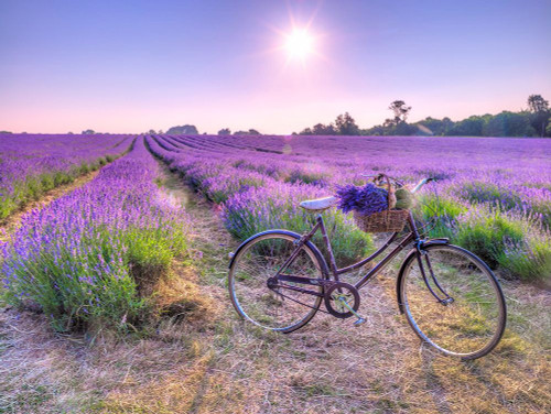 Bicycle with flowers in a Lavender field Poster Print by Assaf Frank # AF20130708162X