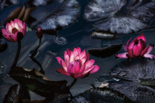Waterlilies Poster Print by Elise Catterall # 63323