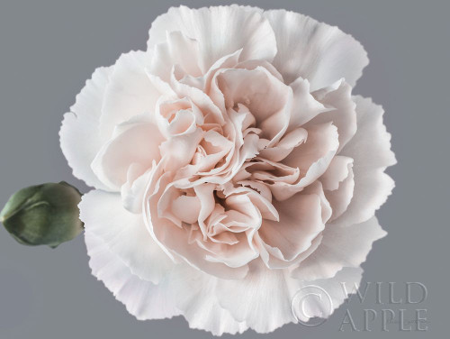 Blush Carnation Poster Print by Elise Catterall # 63292