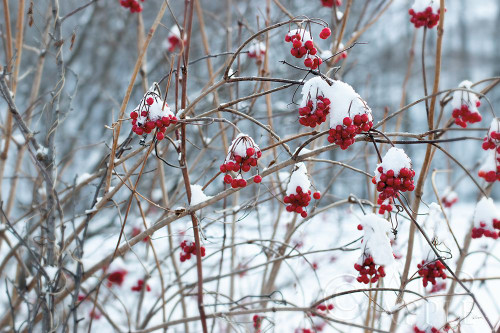 Berries in Winter Poster Print by Sue Schlabach # 60941