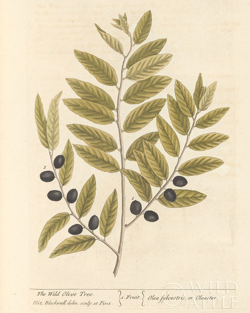 Olive Branch I Poster Print by Wild Apple Portfolio Wild Apple Portfolio # 60026