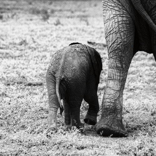Mama and Baby Elephant II Poster Print by Aledanda Aledanda # 58136