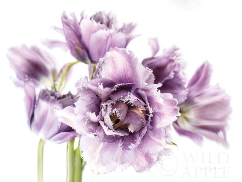 Purple Fringed Tulips I Poster Print by Elise Catterall # 58059
