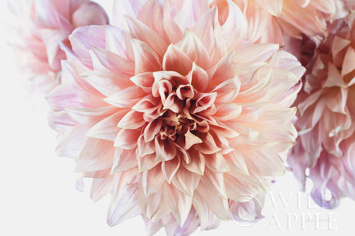Peach Dahlias Light Poster Print by Elise Catterall # 58058