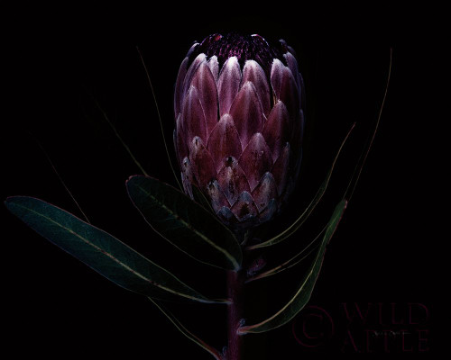 Protea Dark Poster Print by Elise Catterall # 58073