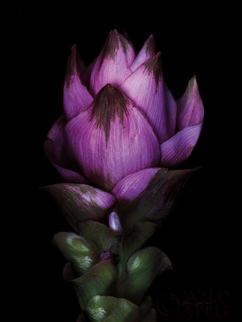 Siam Tulip Poster Print by Elise Catterall # 58065
