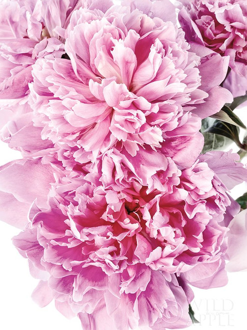 Pink Peony Cluster Poster Print by Elise Catterall # 58071