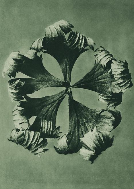 Trollius Europaeus Poster Print by Karl Blossfeldt # 54727