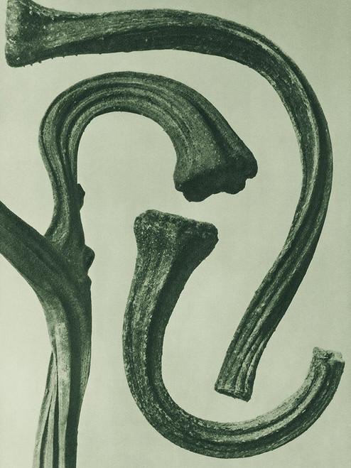Cucurbita  Poster Print by Karl Blossfeldt # 54744