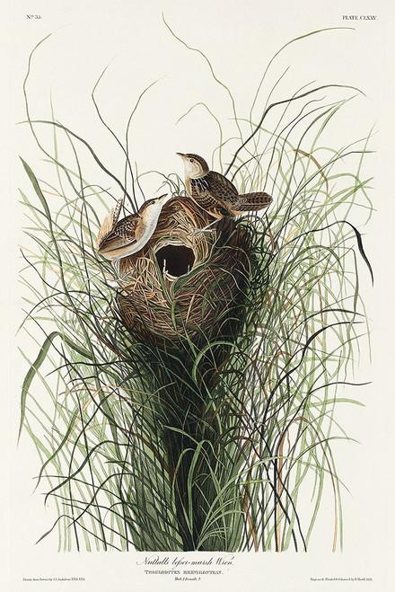 Nuttalls lesser-marsh Wren Poster Print by John James Audubon # 53712