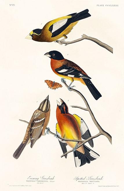 Evening Grosbeak and Spotted Grosbeak Poster Print by John James Audubon # 53717