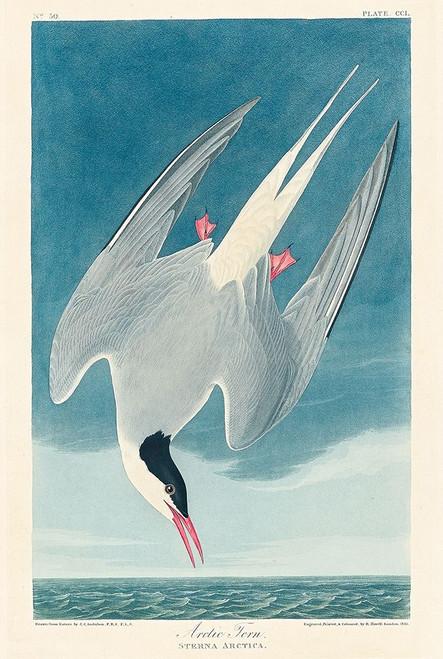 Arctic Tern�_ Poster Print by John James Audubon # 53548