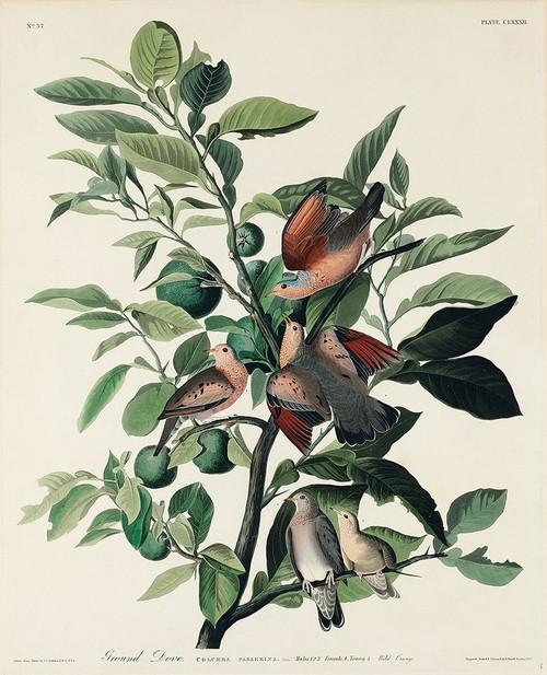 Ground Dove Poster Print by John James Audubon # 53562