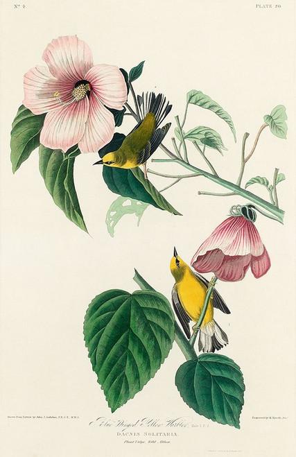 Blue-winged Yellow Warbler Poster Print by John James Audubon # 53683