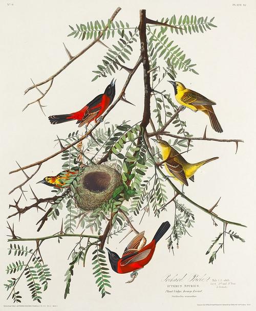 Orchard Oriole Poster Print by John James Audubon # 53688