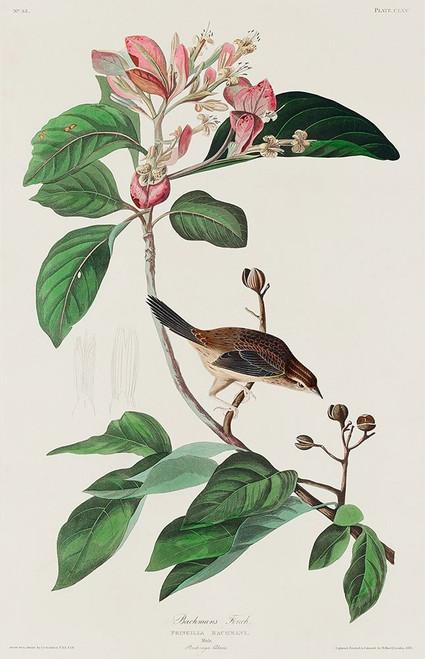 Bachmans Finch Poster Print by John James Audubon # 53693
