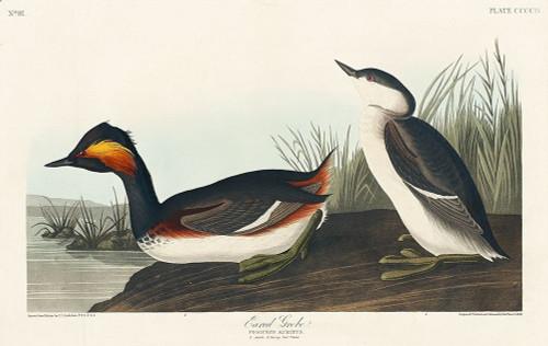 Eared Grebe Poster Print by John James Audubon # 53536