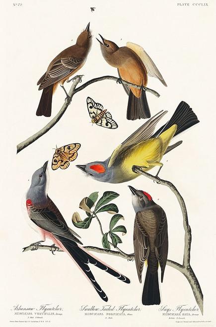 Arkansaw Flycatcher, Swallow-Tailed Flycatcher and Says Flycatcher Poster Print by John James Audubon # 53575