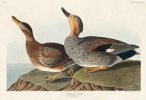 Gadwall Duck Poster Print by John James Audubon # 53546