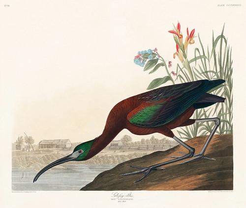 Glossy Ibis Poster Print by John James Audubon # 53420