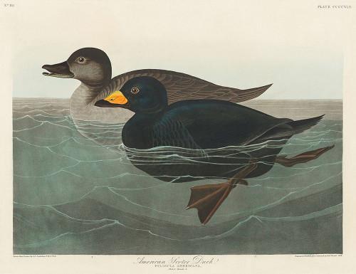American Scoter Duck Poster Print by John James Audubon # 53406