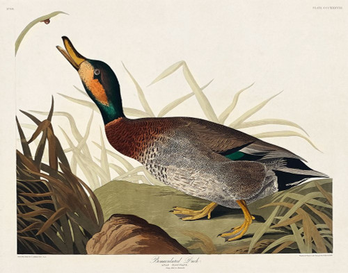 Bemaculated Duck Poster Print by John James Audubon # 53412