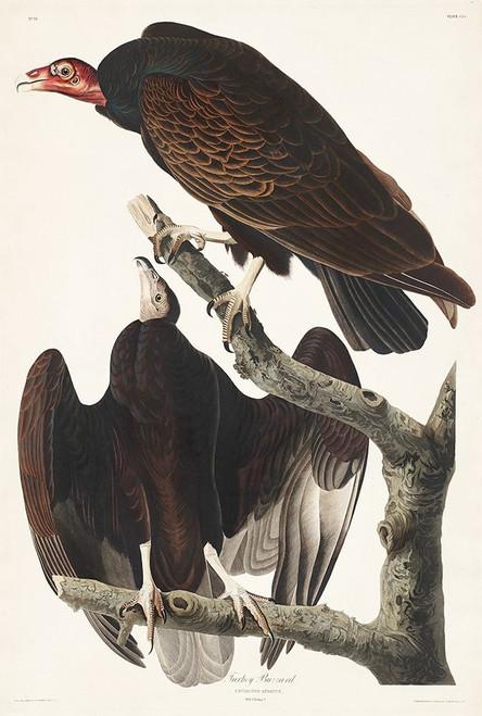 Turkey Buzzard Poster Print by John James Audubon # 53416