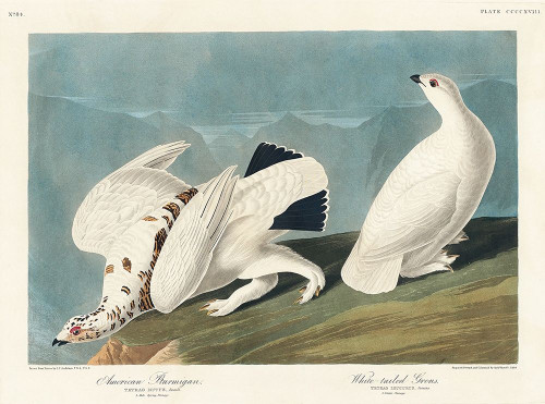 American Ptarmigan and White-tailed Grous Poster Print by John James Audubon # 53451