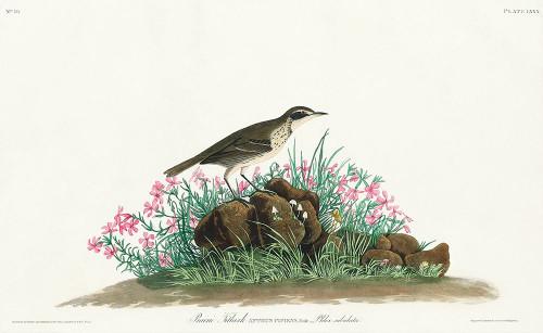 Prairie Titlark Poster Print by John James Audubon # 53657