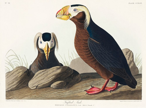 Tufted Auk Poster Print by John James Audubon # 53464