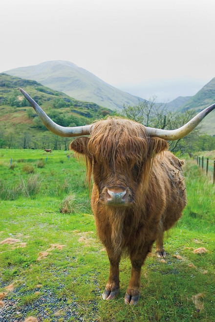 Scottish Highland Cattle VI Poster Print by Alan Majchrowicz # 52306