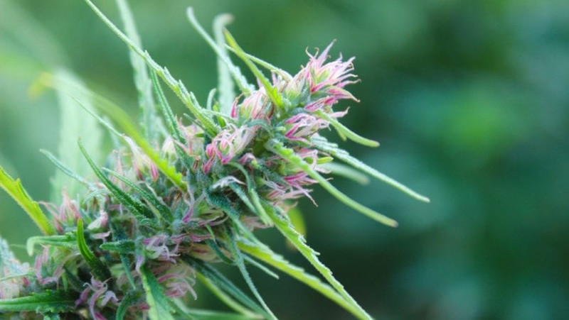 Nursing Note: Cannabis for Breast Cancer