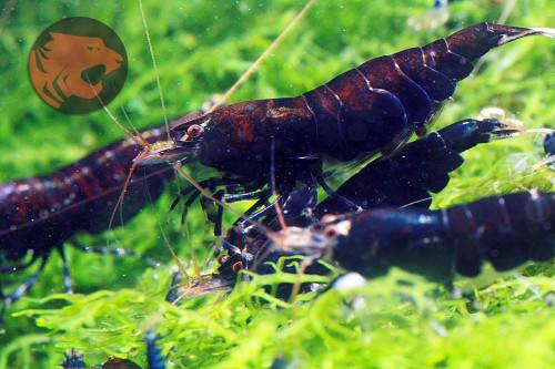 (5) Midnight Prince Tiger shrimp