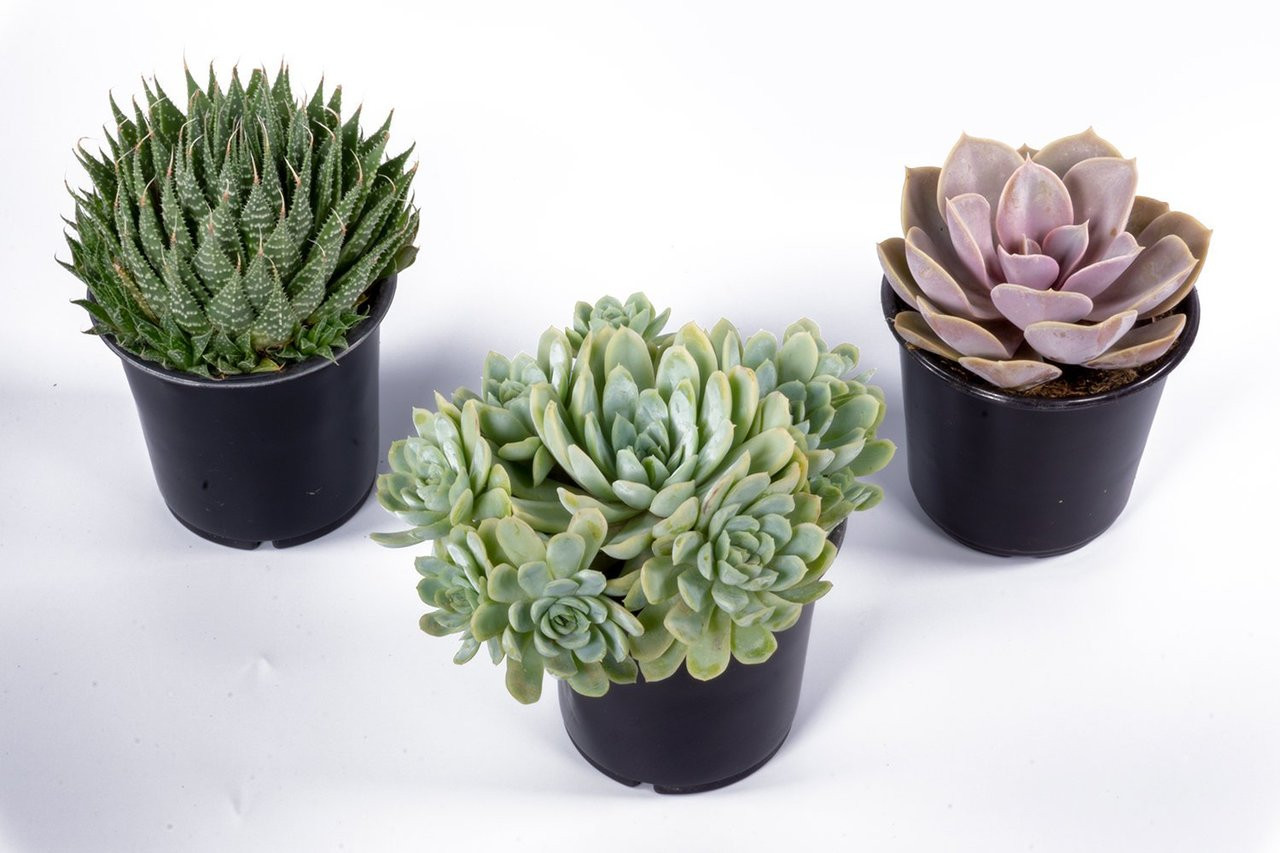 4 Succulents 3 Pack Varieties And Species Will Vary Growers