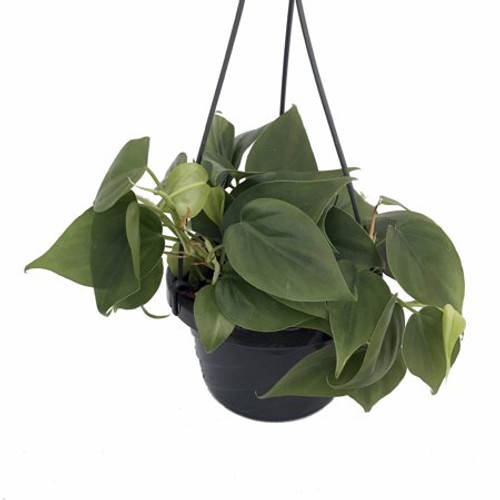 """8"""" Green Philodendron Hanging Basket"""