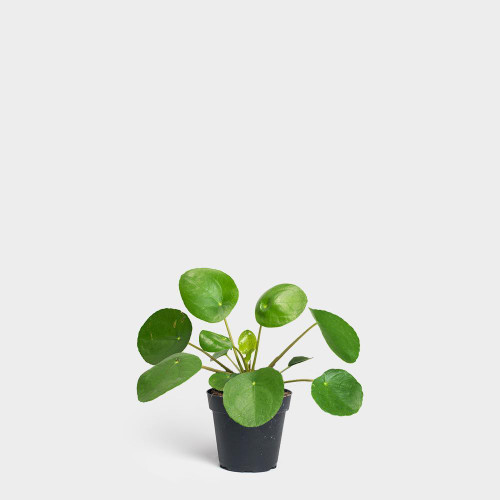 "4"" Pilea Peperomioides *TOP SELLER* *very full*"