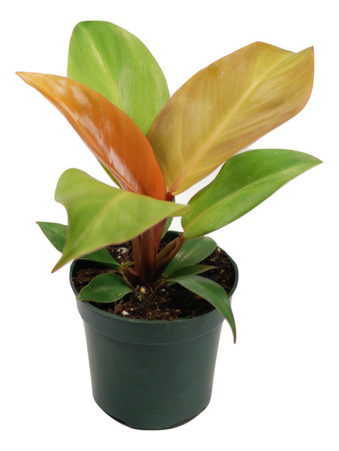 "4"" Philodendron Prince of Orange"