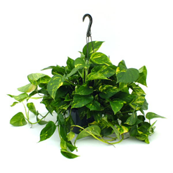 "Golden Pothos 8"" Hanging Basket"