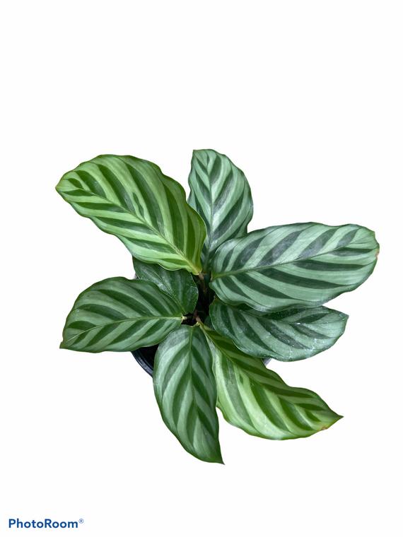 """Calathea Cocinna  - 4"""" Pot"""