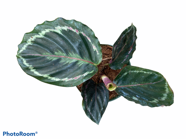 """Calathea Roseopictea - 4"""" Pot"""