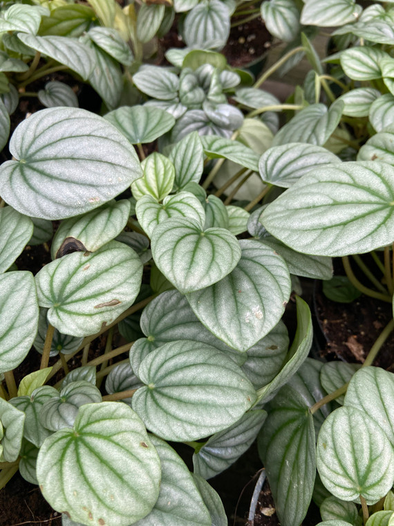 """Peperomia Frost - 4"""" Pot"""