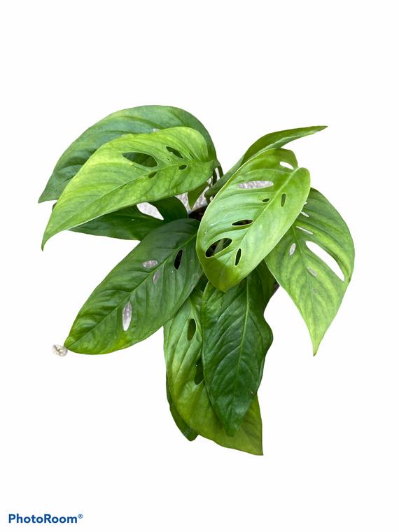 "Adansonii Swiss Cheese Vine - 4"" Pot - Narrow Leaf!"