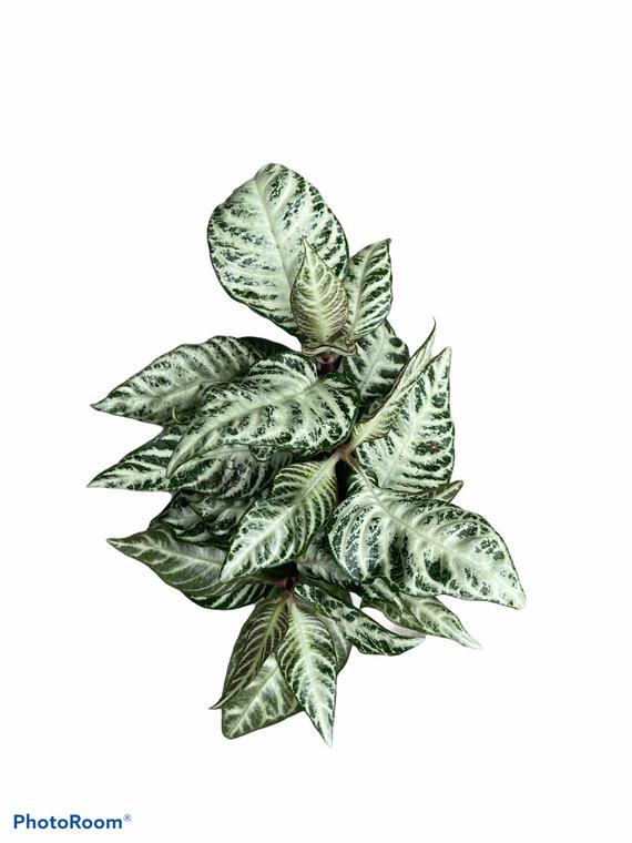 """Snow White Zebra Plant - 4"""" Pot"""