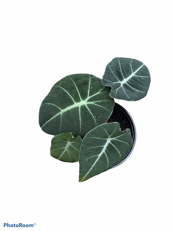 """Alocasia Reginula 'Black Velvet' - 4"""" Pot"""
