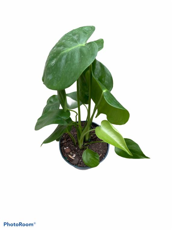 """Split Leaf Philodendron - Monstera Deliciosa - 4"""" Pot"""