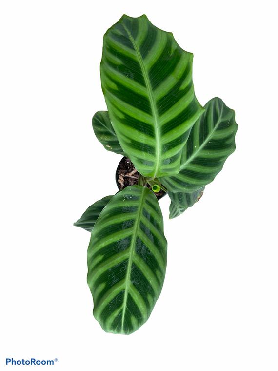 "Calathea Zebrina - 4"" Pot"