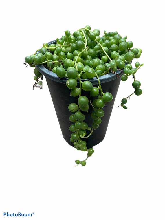 """String of Pearls - 4"""" Pot"""